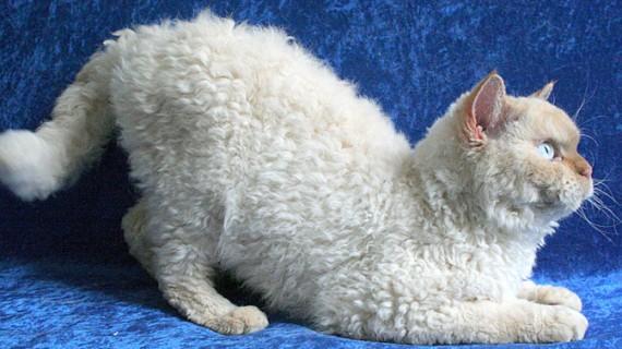 Ştiţi care este cea mai nouă rasă de pisică domestică?