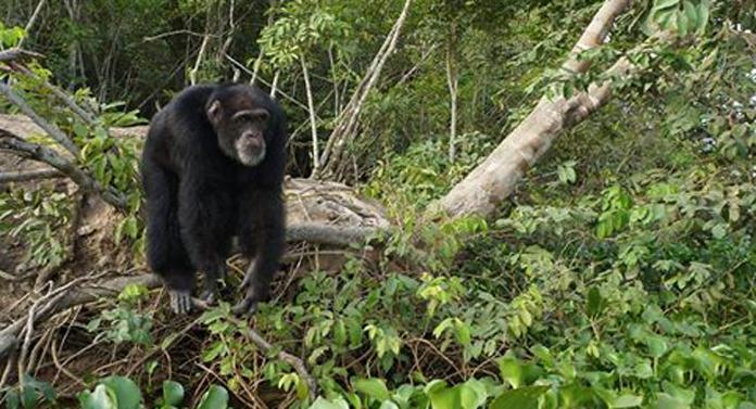 Trista poveste a lui Ponso, cel mai izolat cimpanzeu din lume