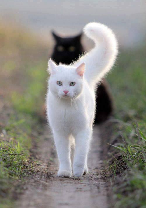 pisica-gigi